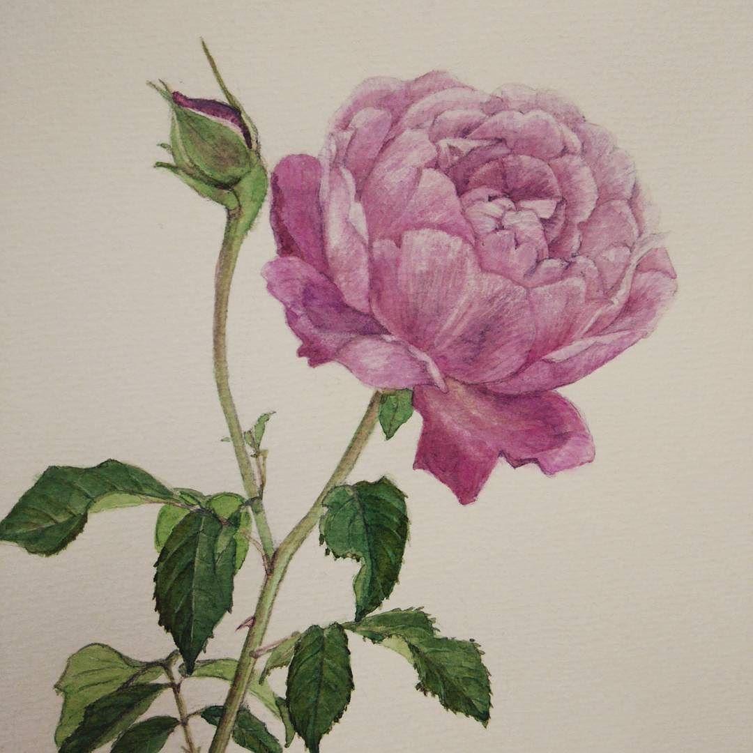 バラ シャンテロゼミサト 水彩画
