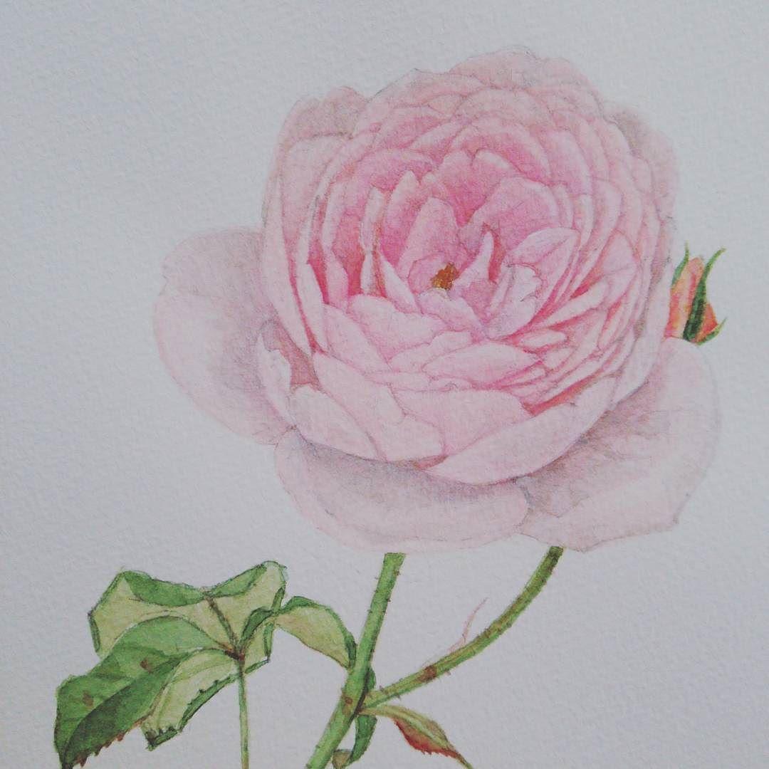 バラ ナエマ 水彩画